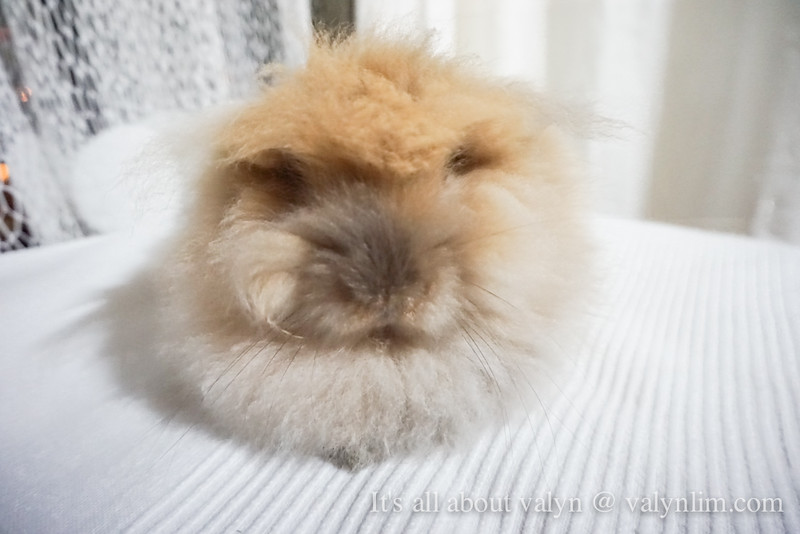 【KimchiBaby】吼~我是狮子…兔!Lionhead Bunny